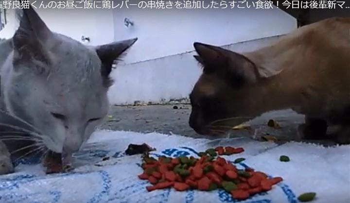 鶏レバーを食べる先輩野良猫
